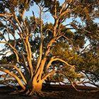 mangrove in sunrise