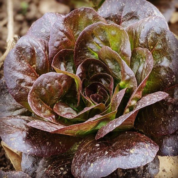 red lettuce 1